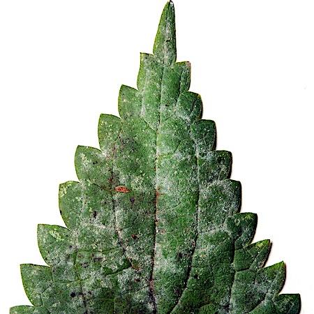 Erysiphe aquilegiae var. aquilegiae)