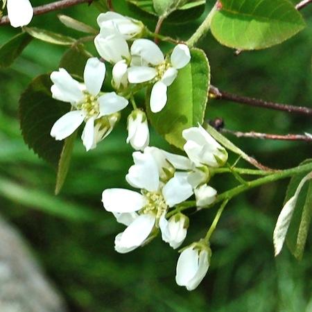 amelanchier spicata