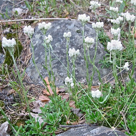 antennaria dioica