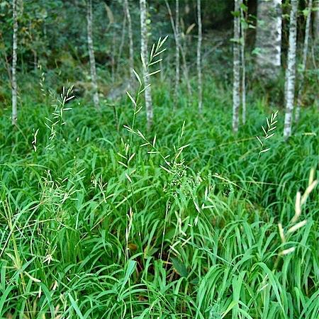brachypodium pinnatum