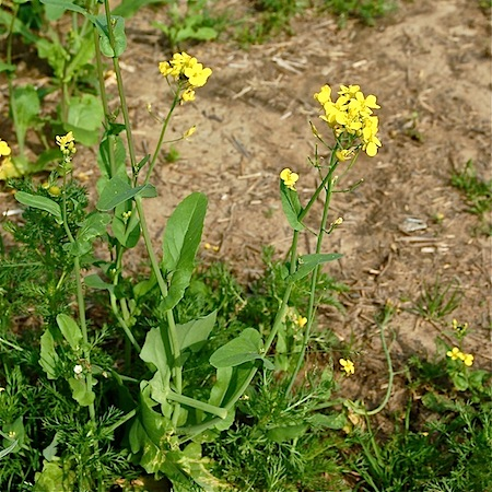 brassica rapa ssp. oleifera
