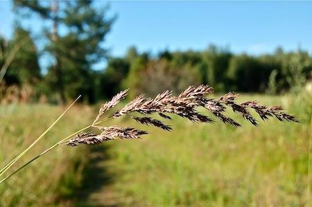 calamagrostis epigejos