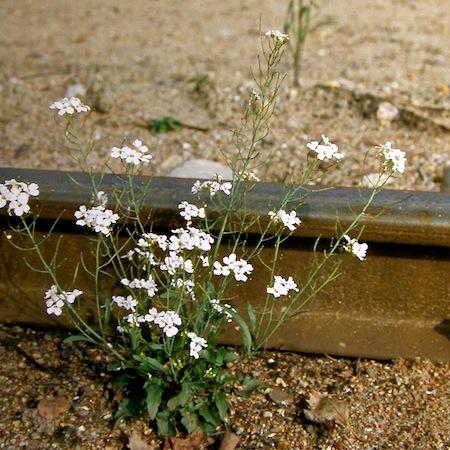 cardaminopsis arenosa