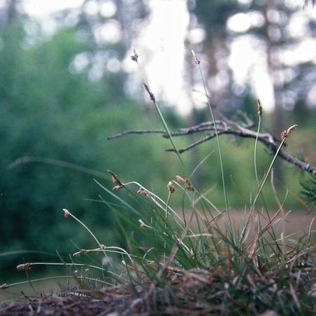 carex ericetorum