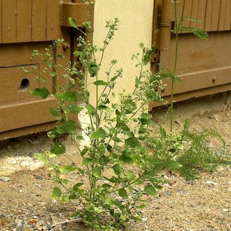 chenopodium suecicum