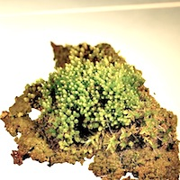 Bryum argenteum