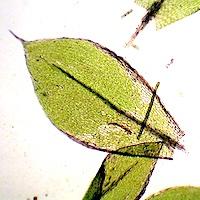Ptychostomum moravicum