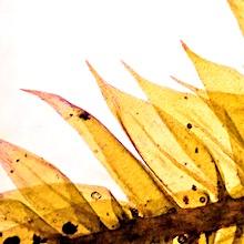 Sciuro-hypnum plumosum