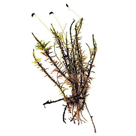 Calliergon richardsonii