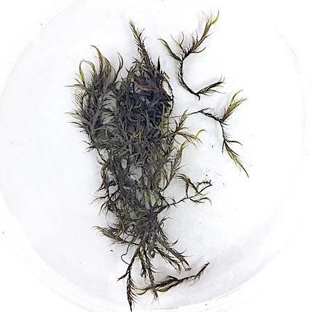 Dichelyma capillaceum