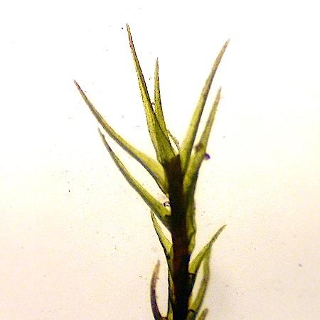 Ditrichum zonatum