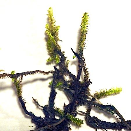 Pseudocalliergon lycopodioides