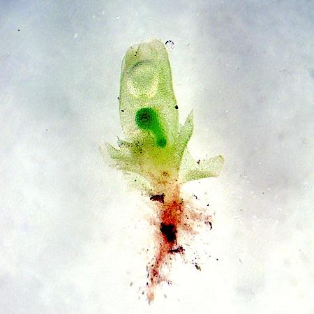 Lophozia ciliata