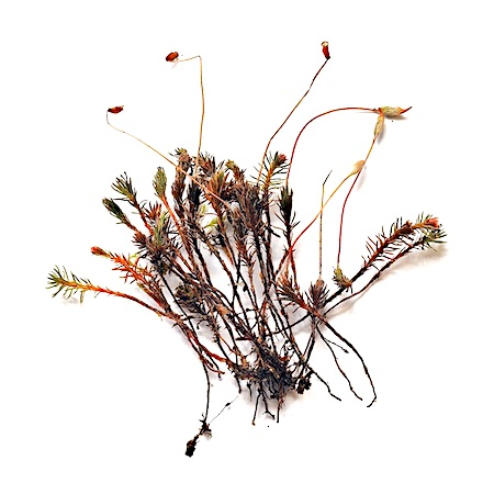 Polytrichum piliferum