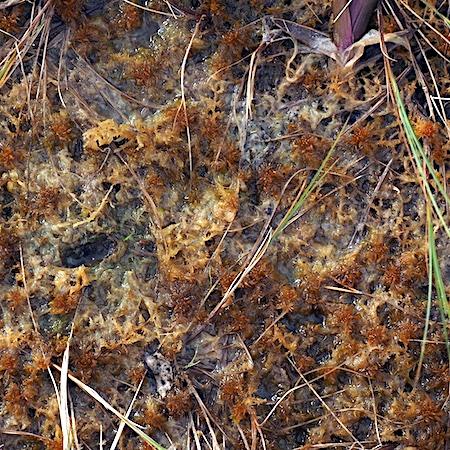 Sphagnum annulatum